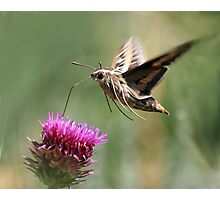 White Lined Sphinx Moth Photographic Print