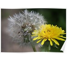 Difference in dandelions Poster