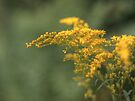 Goldenrod by Aaron Campbell
