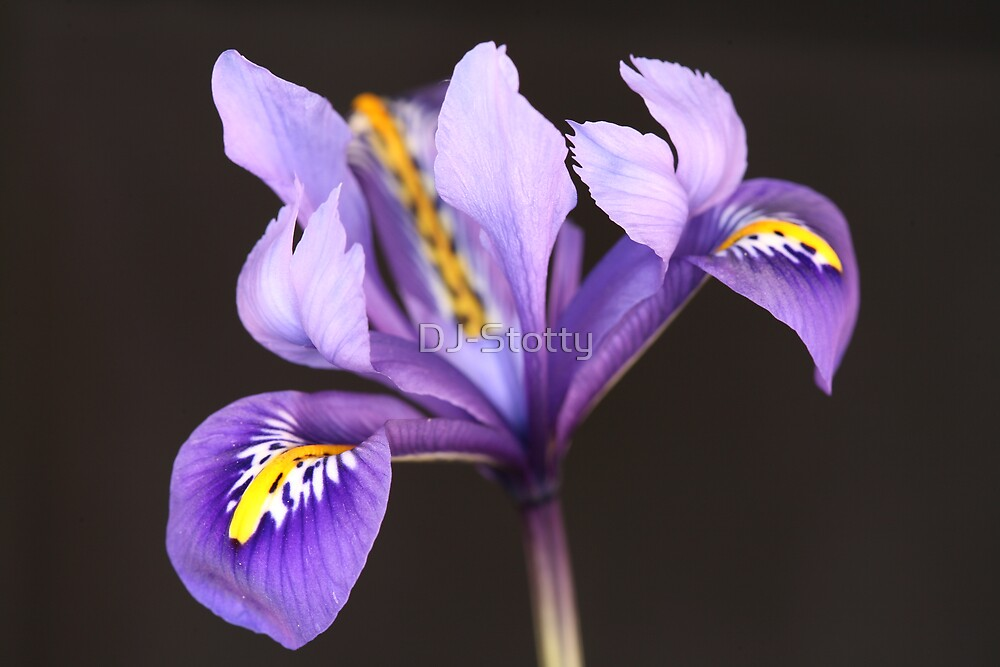Miniature Iris by DJ-Stotty