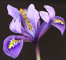 Miniature Iris by DJ-Stotty