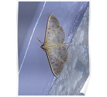 Profile of a Mother of Pearl Moth Poster