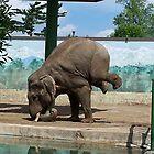Elephant by tbailey1