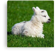 A Sleepy Newborn Lamb In A Field Canvas Print