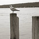 Gull at Cayuga Lake, Finger Lakes, NY by mychaelalchemy