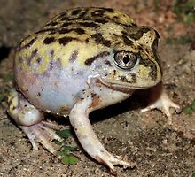 Pretty Spadefoot Toad