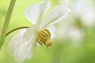 Mayapple Wildflower - Podophyllum peltatum by MotherNature