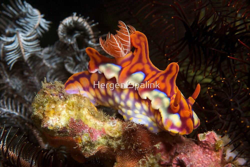 Ceratosoma Magnifica nudibranch in Komodo's Horseshoe Bay by Hergen Spalink