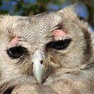 GIANT or Verreaux Eagle Owl -  Bubo lacteus by Magaret Meintjes