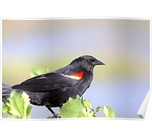 Red Winged Black Bird Poster