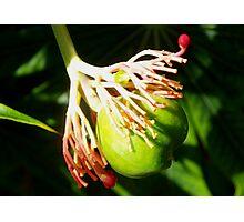 Hula dancing flower pod Photographic Print