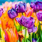 Tulips Enchanting 48 by luckypixel