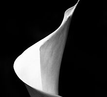Spring Lily in monochrome by Elana Bailey