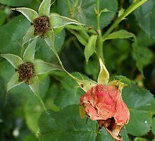 Tired Roses - Dry Brush by Gilberte