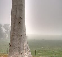 Gum tree at La Trobe Uni in Beechworth in fog by Elana Bailey