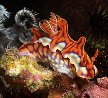 Ceratosoma Magnifica nudibranch in Komodo's Horseshoe Bay by Hergen Spalink