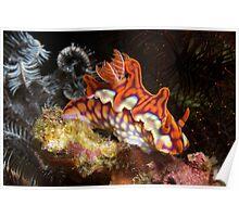Ceratosoma Magnifica nudibranch in Komodo's Horseshoe Bay Poster