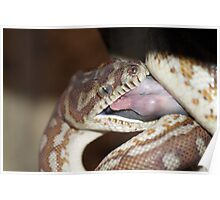 Bradley Python Eating 2 Poster