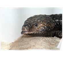 Shingle Back Lizard called Mouse Poster