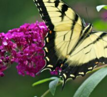 Tiger Swallowtail Butterfly - Papilio glaucus Sticker
