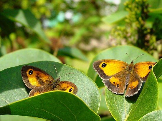 The Gatekeeper Butterfly by Darron Palmer