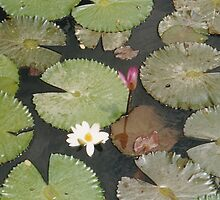Lotus Leafs Petals and Flowers in Pond by 082010