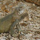 Iguana Bonaire by Dirk van Laar