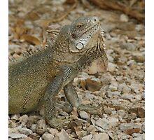 Iguana Bonaire Photographic Print