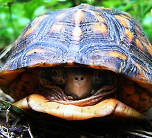Box Turtle by elasita