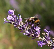 Mayfeild Lavender, Bee by oliviatownsend