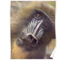 Mandrill staring contest Poster