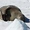 "Weddell Seal ~ ""My bed of ice and snow"" by Robert Elliott"