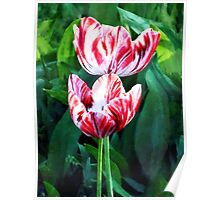 Elegant Red and White Striped Tulips Poster
