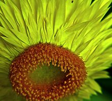 Straw Flower To Seed by mrthink