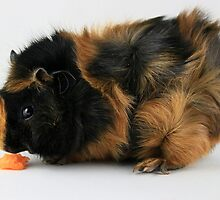 Abyssinian Guinea Pig by GreyFeatherPhot