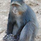 Blue Monkey,Lake Manyara, Tanzania  by Adrian Paul
