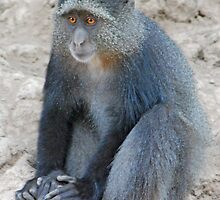 Blue Monkey,Lake Manyara, Tanzania  by Adrian Paul