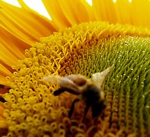 sunflower  with nectar by tego53