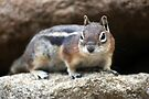 Golden Mantled Ground Squirrel by Julie's Camera Creations <><