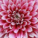 Dahlia, Pink and White by Indrani Ghose