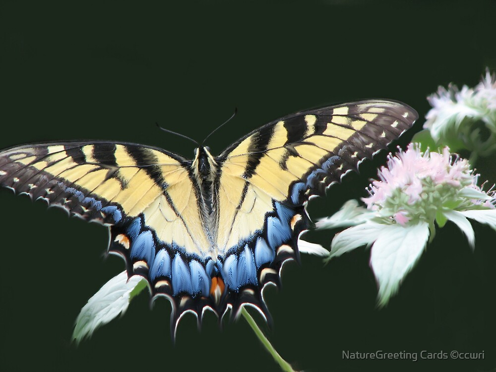 Swallowtail Feasting On Frosty Wild Mountain Mint by NatureGreeting Cards ©ccwri