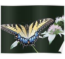 Swallowtail Feasting On Frosty Wild Mountain Mint Poster