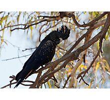 Black Cocky Photographic Print