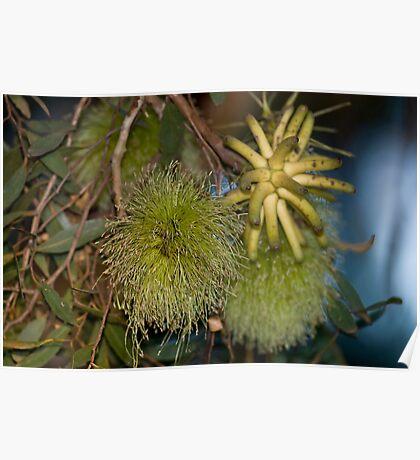 Lehmans Mallee Flowers  Poster