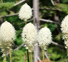 Bear Grass  by Alyce Taylor