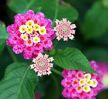 Lantana by Philip Alexander