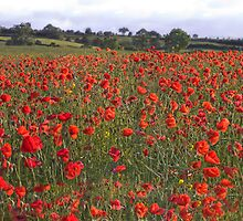 Poppy Field, Lower Tadmarton, UK by Stunningstills