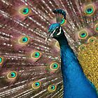 Peacock by JaimeWalsh