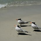 Royal Terns Enjoy The Beach by DMHImages