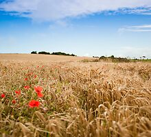 Poppys in a Wheat Field by DonDavisUK
